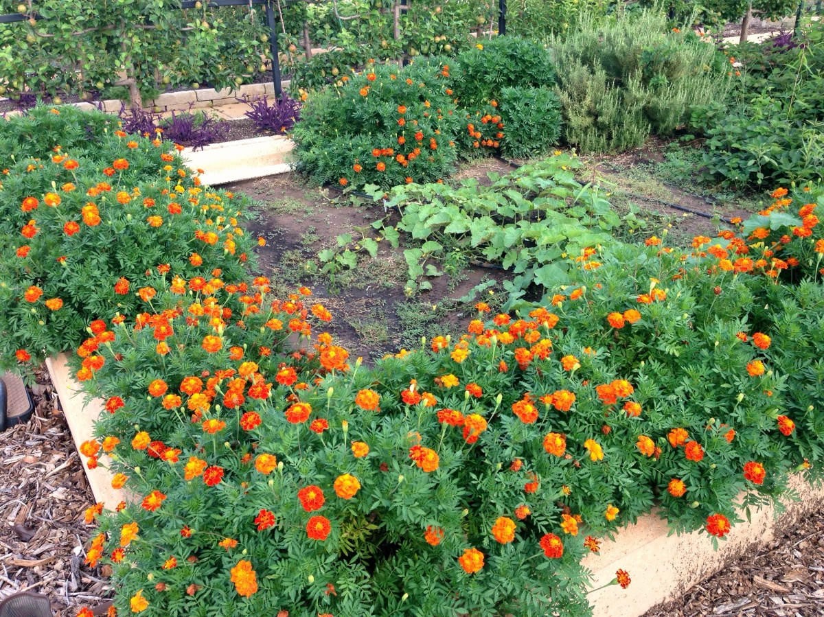 Marigolds For The Garden