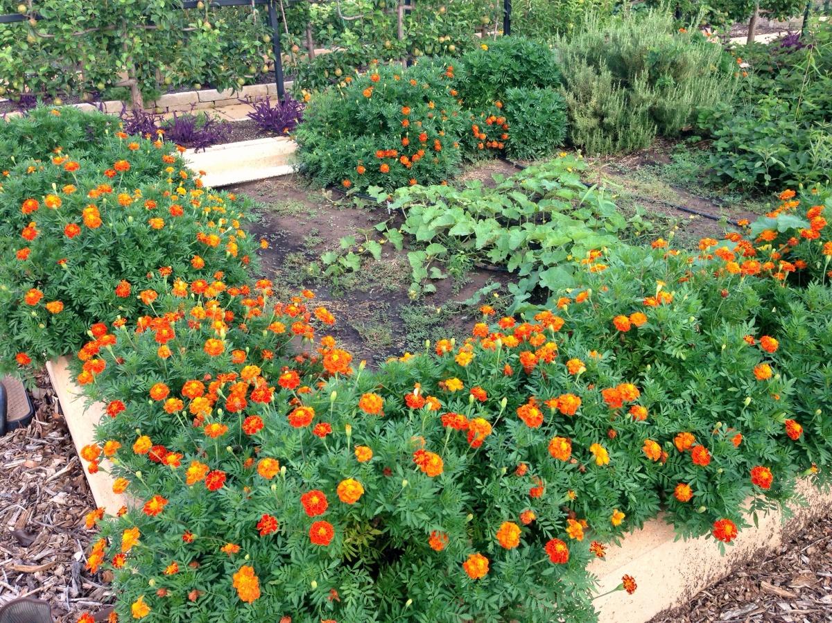 Marigolds For The Garden