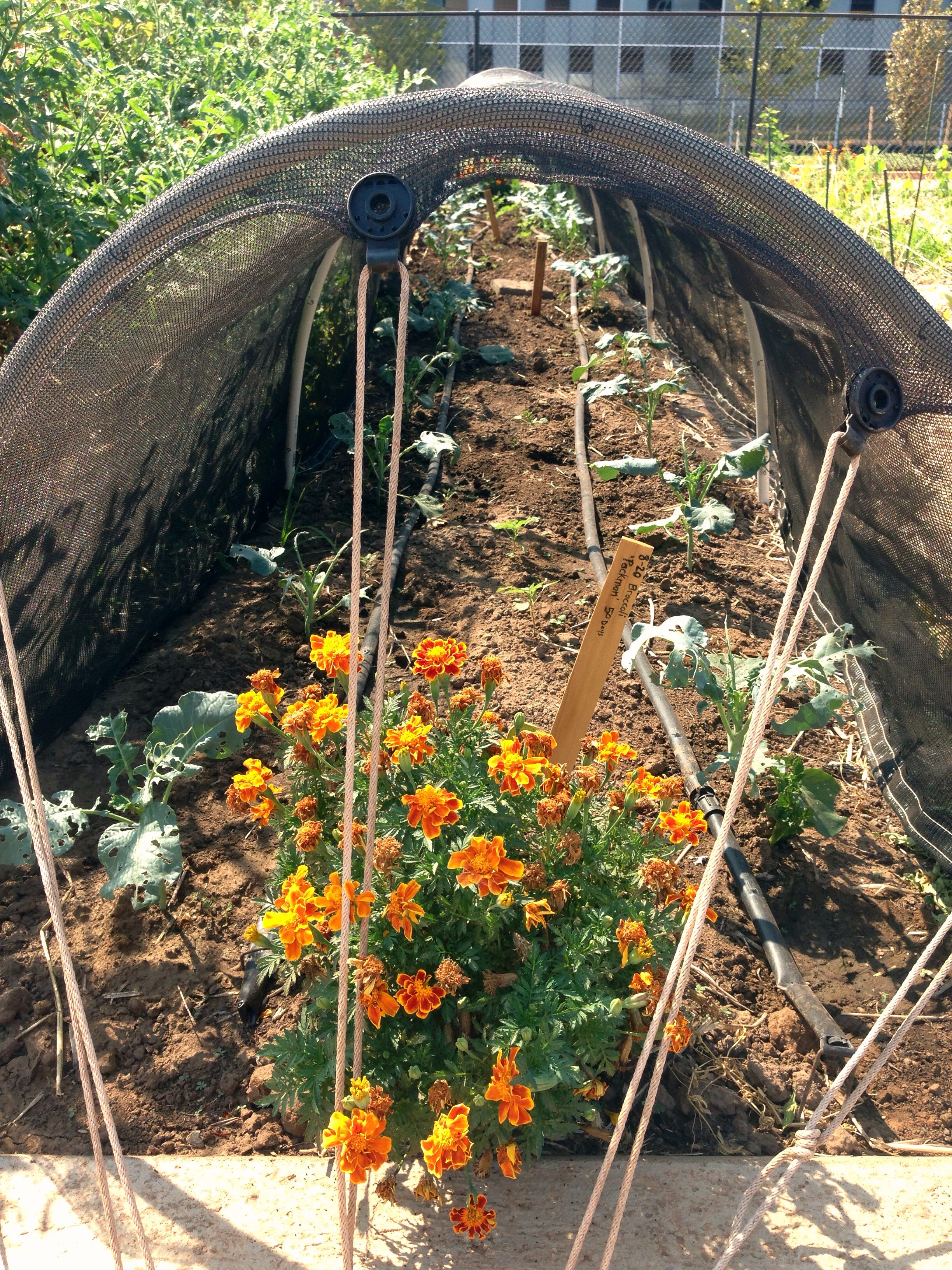 Marigolds For The Garden | Avant Garden Recipes
